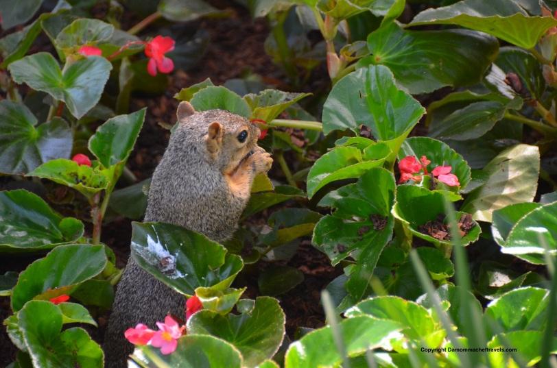 SquirrelDallasArboretum